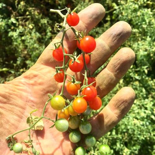 Tomato Sweet Pea Currant