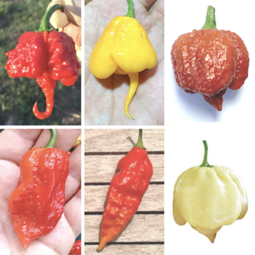 60 Seeds of the 6 Hottest Chillies in the World - Collection 6