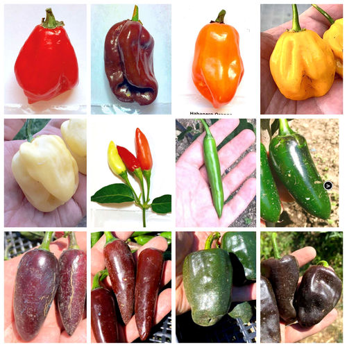 120 Seeds of the 12 Tasty Peppers of Mexico - The Mexican Collection