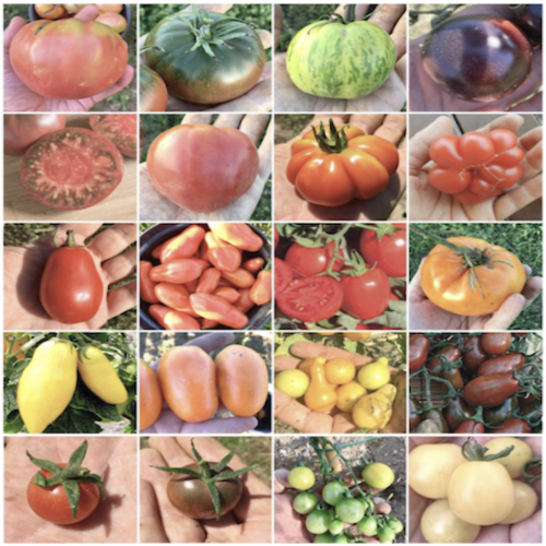 Tomato Collection - 200 Seeds in 20 Varieties